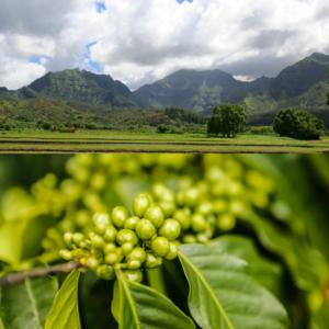 Hawaiian coffee farm, West coffee